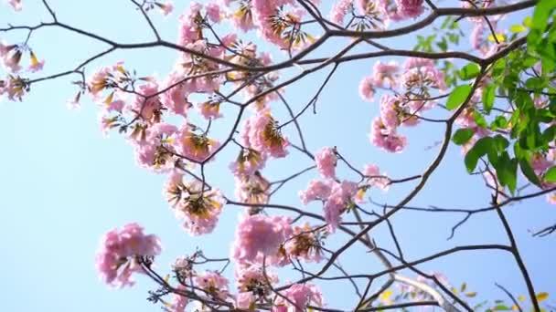 Růžová lilie kvete v časném slunečním svitu. To je malá zvonovitá květinka, která obvykle kvete na jaře a má ráda slunce