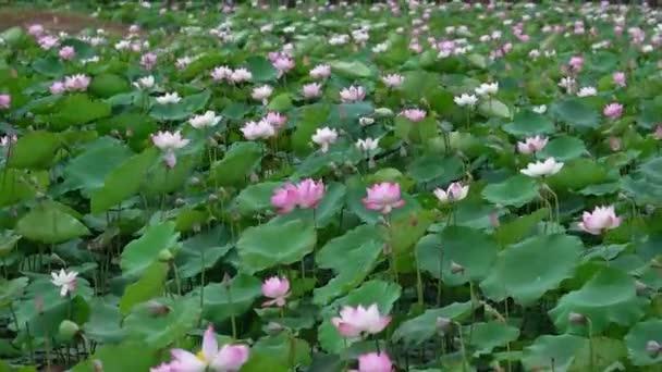 Lotosová pole kvetou na jaře ráno. Buddhistické květiny, jasné a čisté