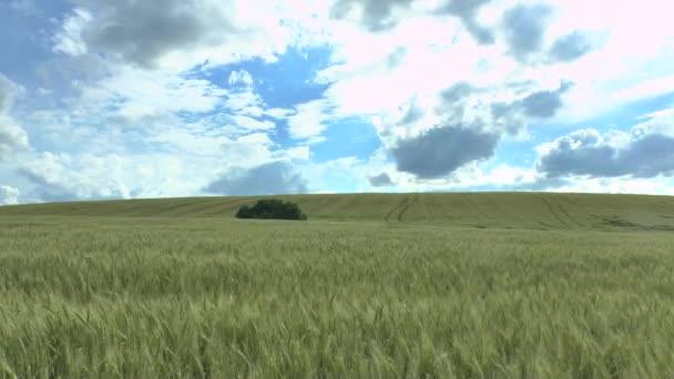 Zelená pšenice a zamračená obloha