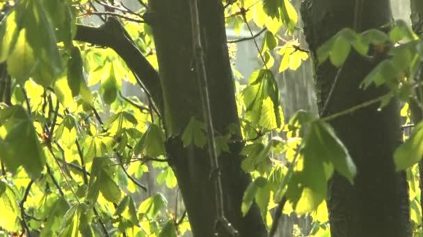 Zelený větvemi kaštanů v dešti