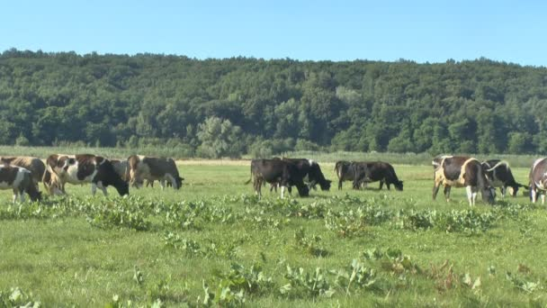 Cows grazing in fresh pastures