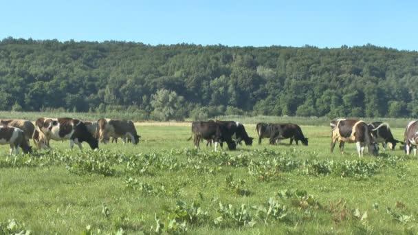 mucche al pascolo in pascoli freschi