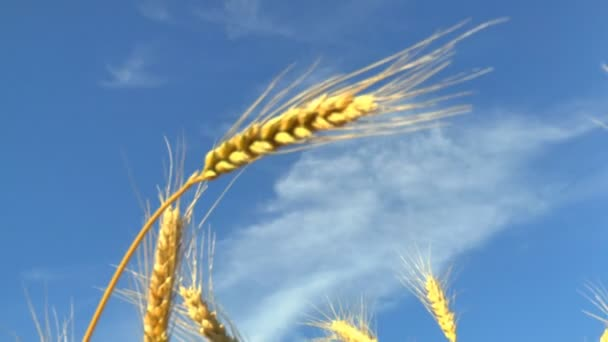 The movement of the ears of ripe wheat in the wind