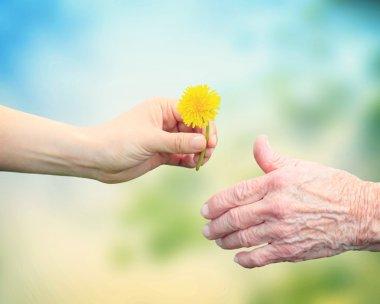 Girl giving dandelion to grandmother