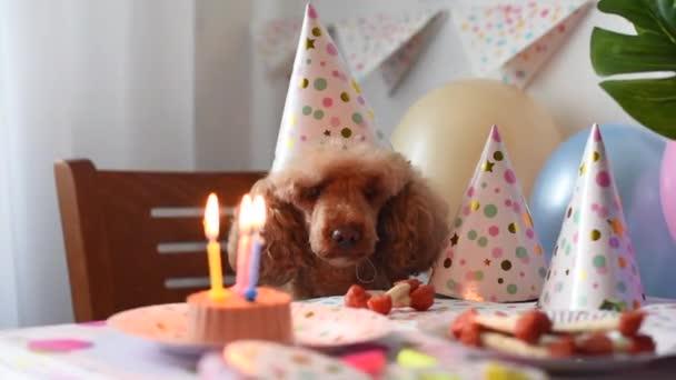 Aprikosenpudelhund feiert Geburtstag mit Kuchen, Knochen und Kerzen