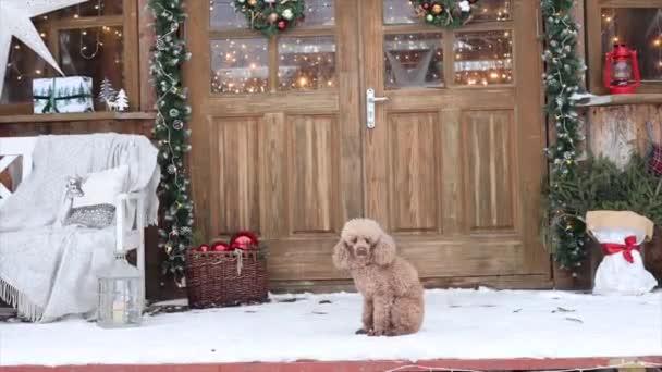 Hund roter Pudel sitzt auf der Veranda eines Hauses für Weihnachten dekoriert, Hinterhof Veranda des ländlichen Hauses für Weihnachten dekoriert, Winter Stillleben