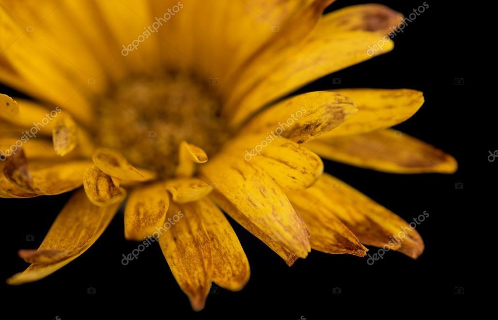 résumé de fleur dahlia jaune — photographie mpalis © #112609318