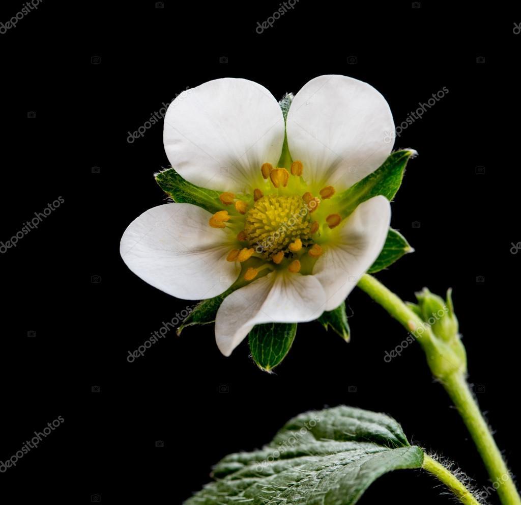 Fleur De Fraisier Photographie Mpalis C 113051438