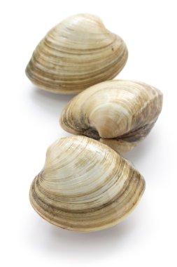 Hard clam, quahog