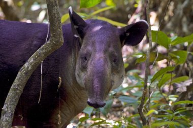 a baird's tapir in the jungle at corcovado national park costa rica central america