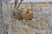 Lev na národní park etosha