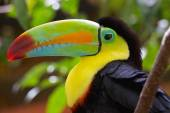 Photo Colorful Keel Billed Toucan