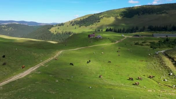 Aerial view of cows grazing in alpine meadow