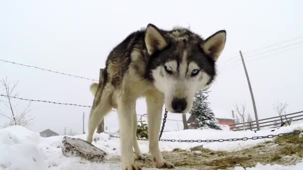 Husky dog playing with a camera
