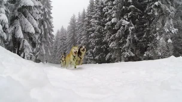 Slow motion of running husky dogs