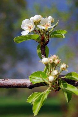 Blooming apple tree in Kolomenskoye park in Moscow, Russia.