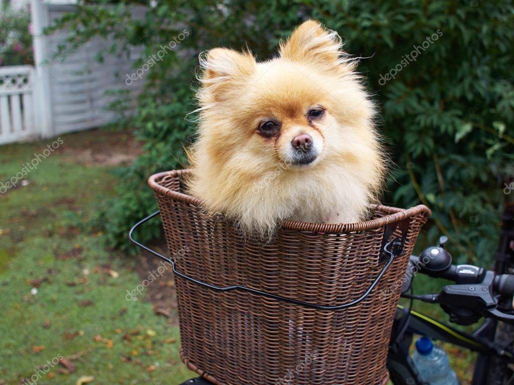 Mignon petit chien dans le panier v lo photo 86312222 - Fabriquer panier chien ...