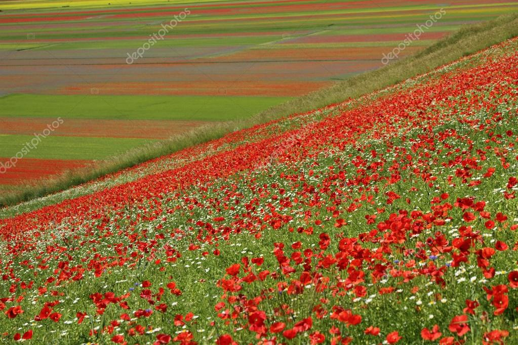 Poppies over  Piano Grande (Great Plain)