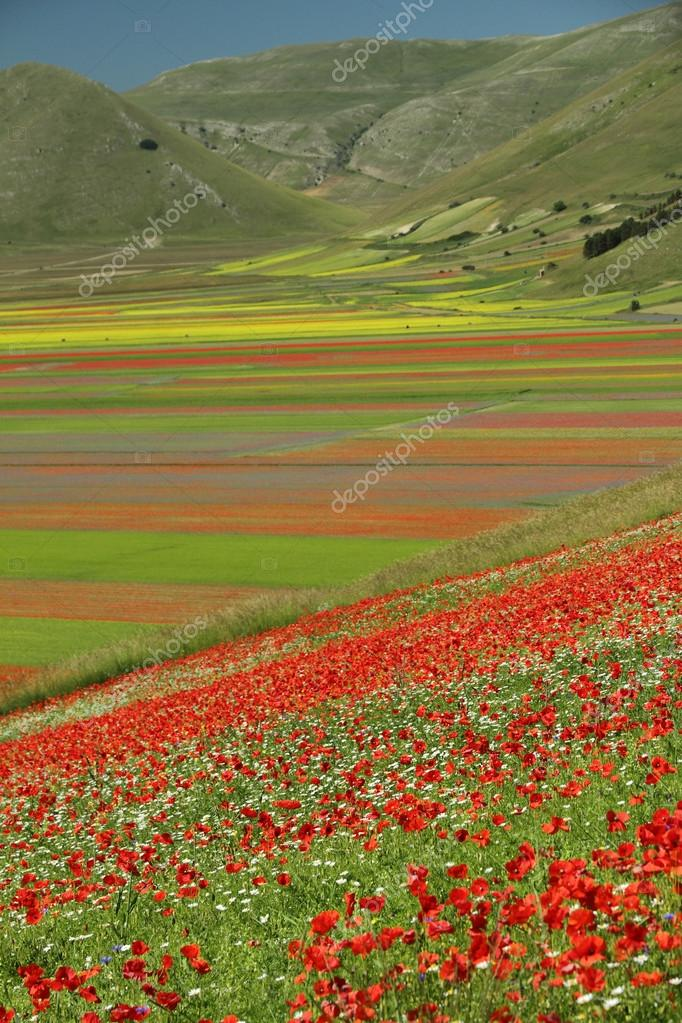 Poppies meadow  over  Piano Grande (Great Plain)
