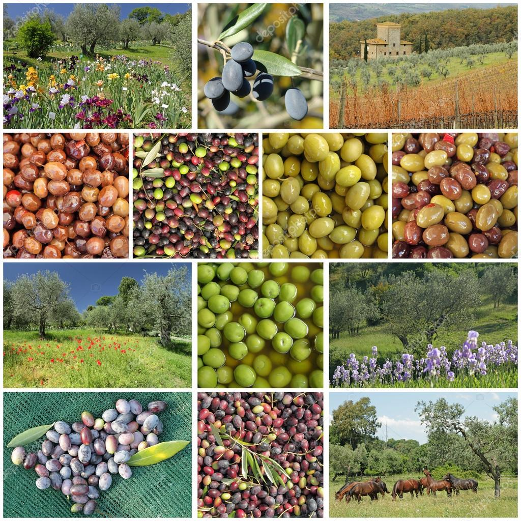Traditional olive trees