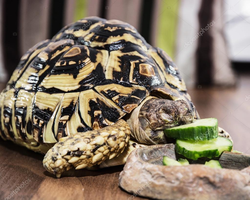 Leopard Tortoise Geochelone Pardalis Eating Cucumber