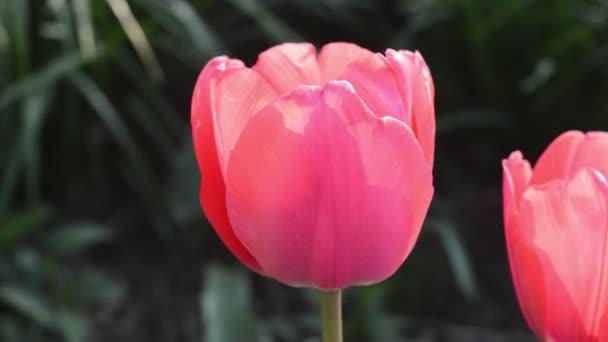 Zblízka pohled krásné růžové tulipány v zahradě foukáním větru