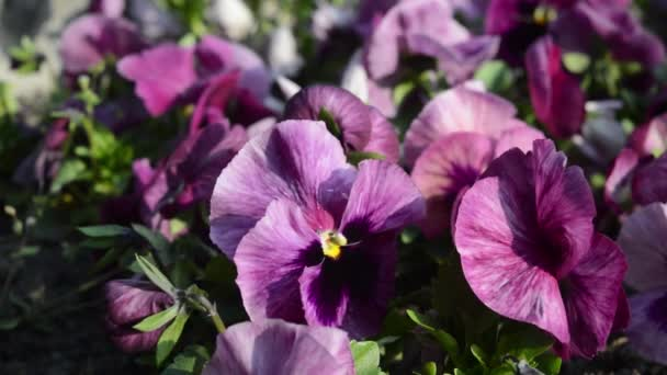 Close up view of the beautiful purple pansies in the garden by blowing wind
