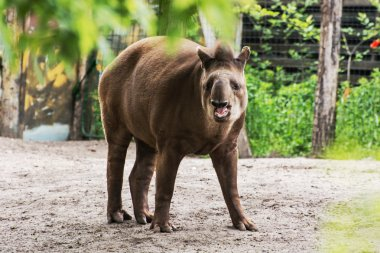 South American tapir - Tapirus terrestris