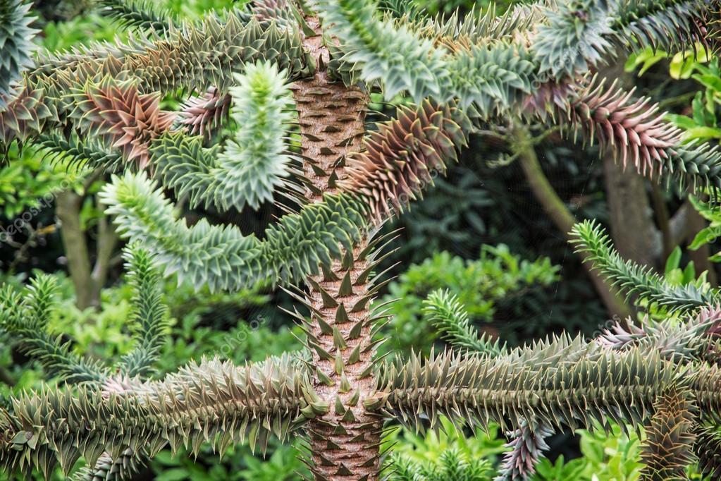 Monkey tail tree (Araucaria araucana)