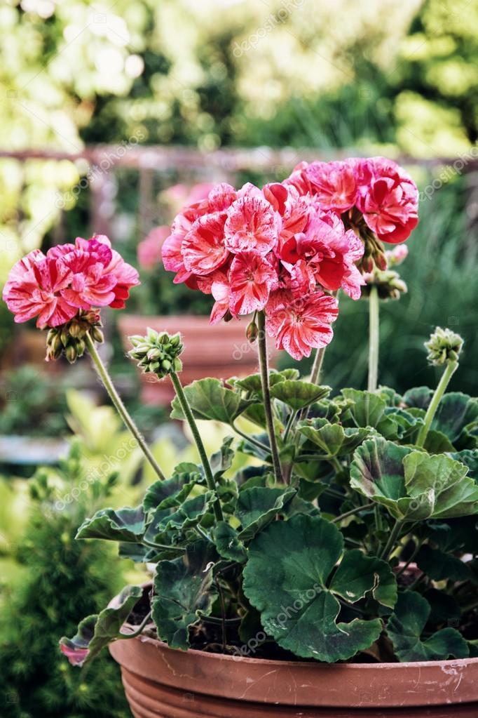 Розовый пеларгоний цветы в горшках (Пеларгония hortorum) в ...