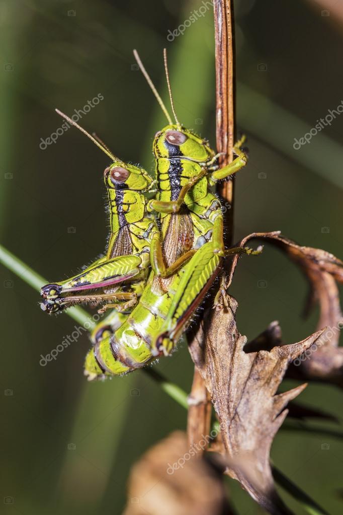 Groene krekels paring stockfoto mattiaath 111607192 groene krekels paring stockfoto altavistaventures Image collections