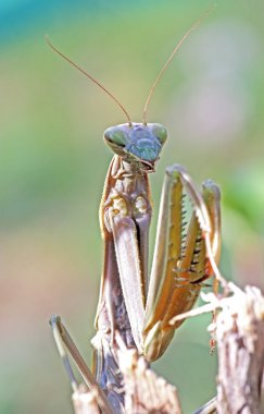 European praying mantis on a twig