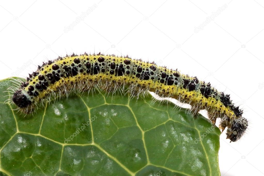 Chenille Caterpillar Papillon chenille du papillon de petit chou blanc — photographie mattiaath