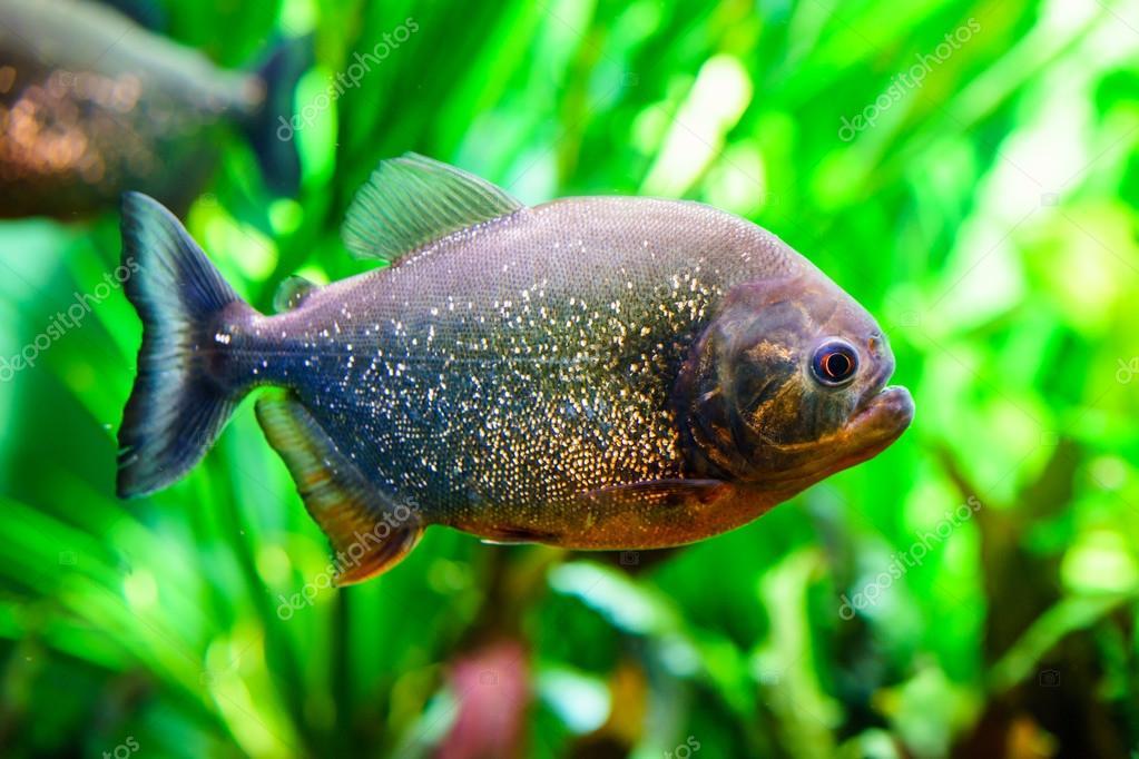 Peces tropicales de acuario foto de stock pabkov for Temperatura para peces tropicales acuario