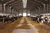 Photo cow farm agriculture