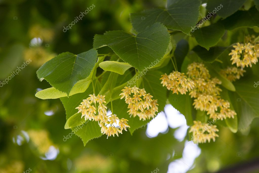 Flowers of lime
