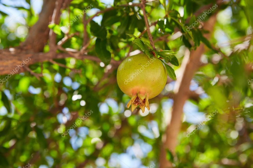 Unripe green pomegranates fruit