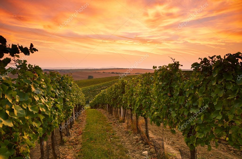 Grape vines in Moravia at sunset