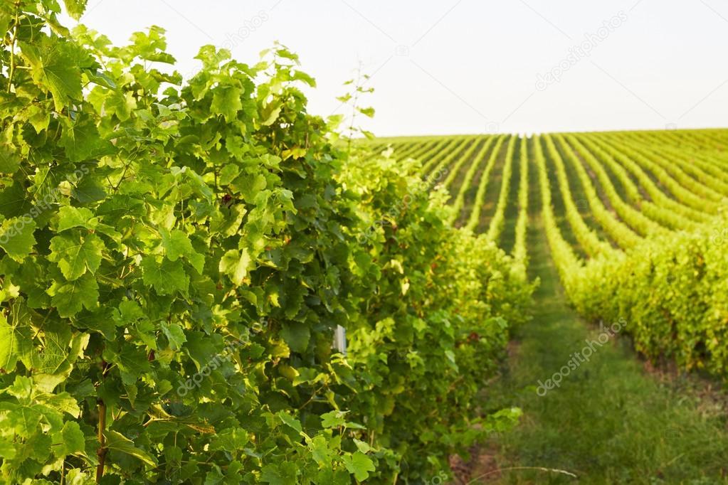 Rows of grape vines in Mikulov