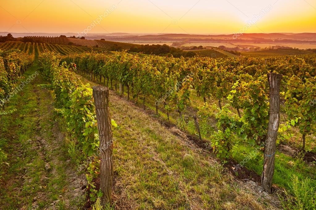 Fields with vineyards at sunset