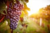 Fotografie vinice při západu slunce v podzimní sklizeň