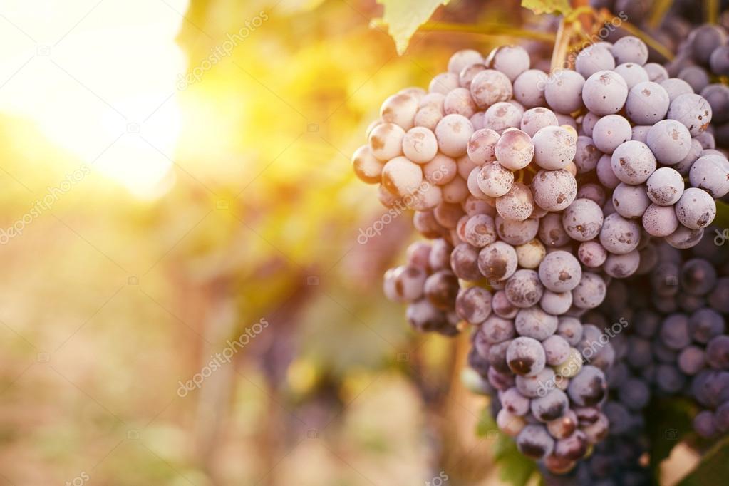 Grape vines at sunset