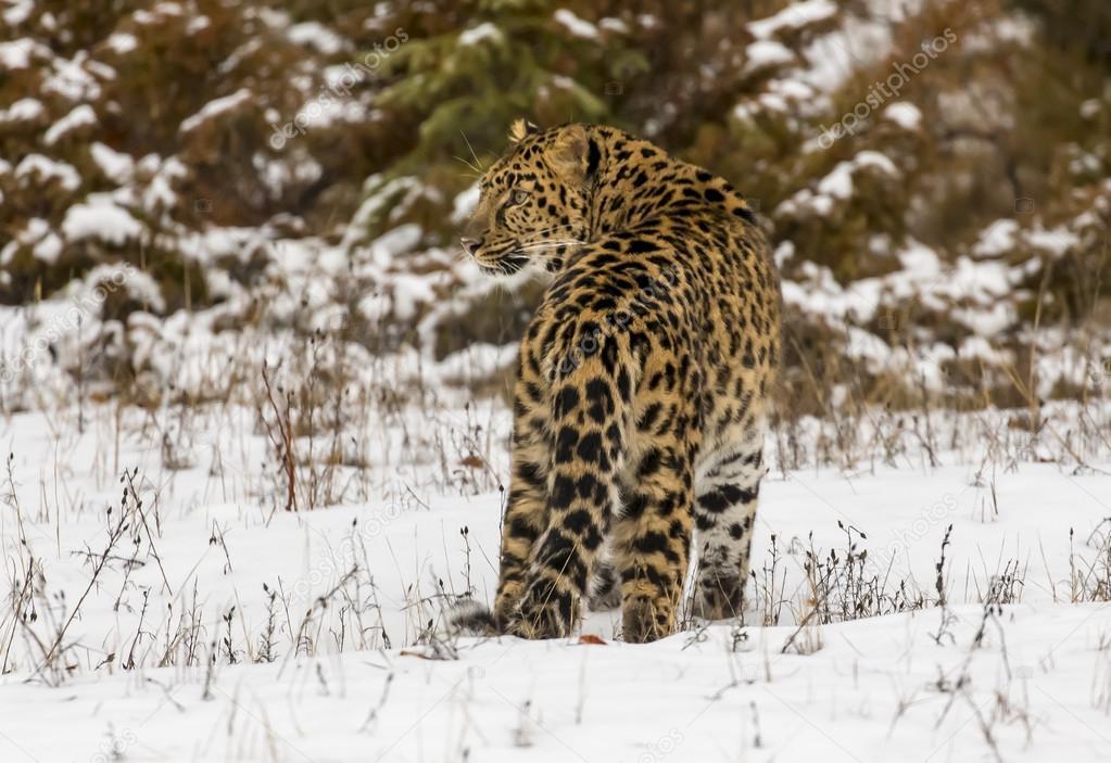 Amur Leopard In A Snowy Environment