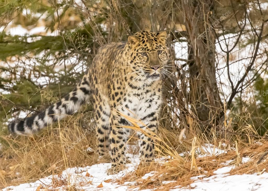 Amur Leopard In A Snowy Environment