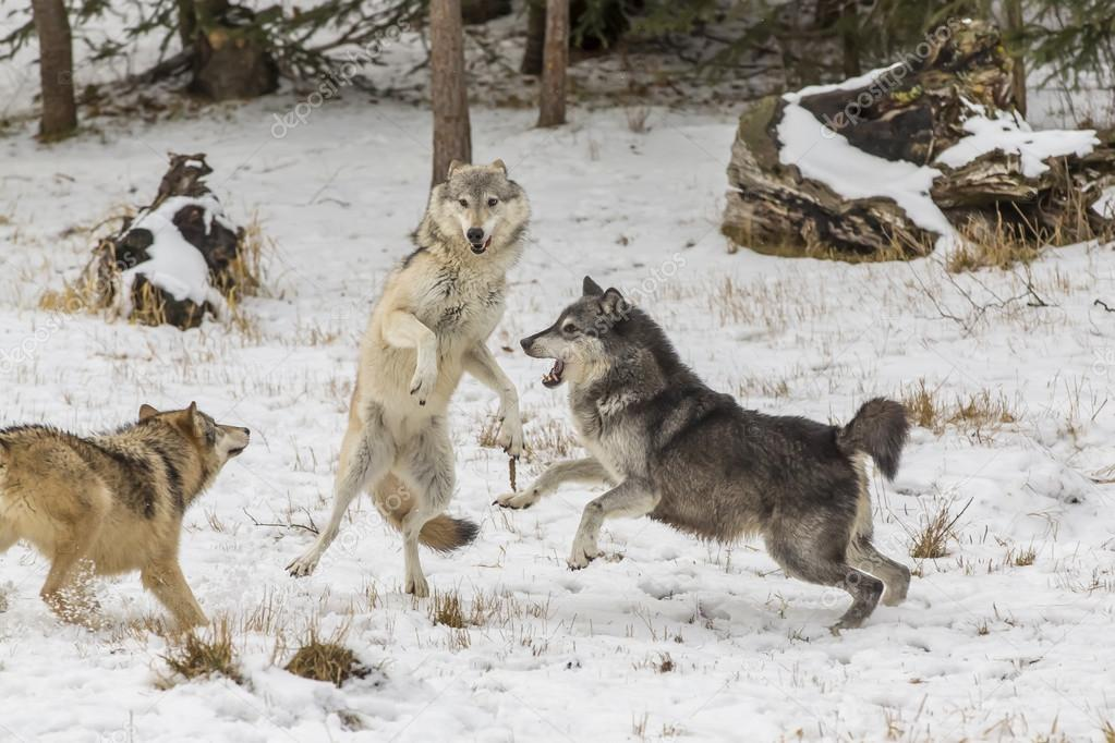 Tundra Wolves In A Snowy Environment