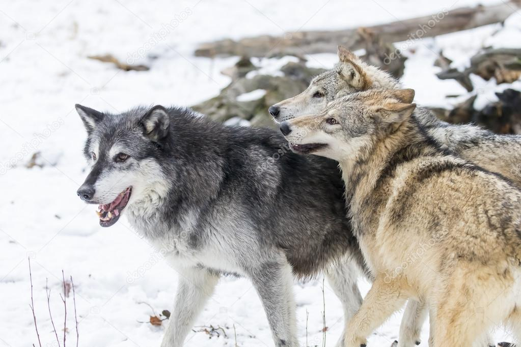 Tundra Wolves Playing In The Snow