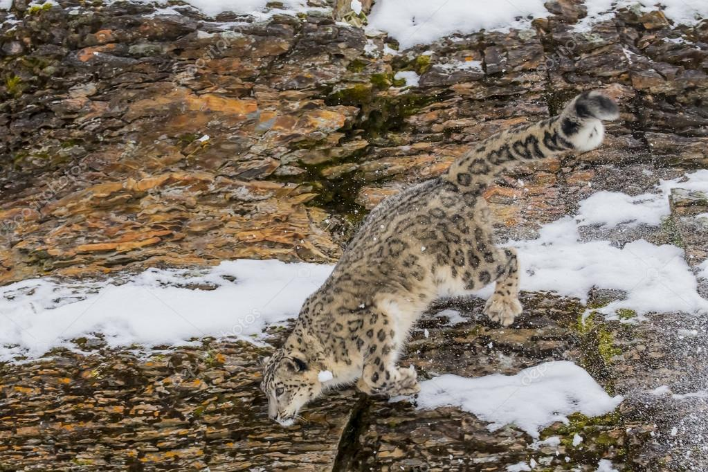 Snow Leopard On A Cliff
