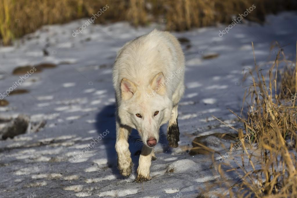 Arctic Wolves Near Water