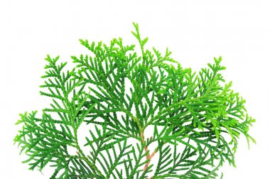 Young branch of a thuja isolated on a white background stock vector