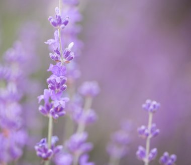 Blossom lavender flowers